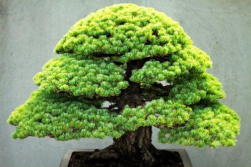 nain géant bonsai